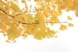 Japan - Gingko Biloba Leaves