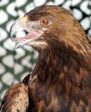 Golden Eagle  2