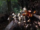 Fairy Bonnets