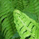 Unfurling Green
