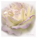 Rose v.2