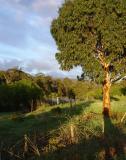 Early Morning Gumtree
