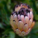 Feathery Protea Flower