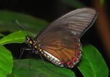 Varus Swallowtail