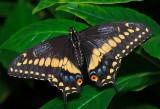 Black Swallowtail (male)