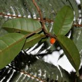 'Aiea Fruit
