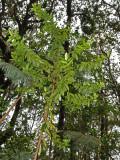 Young 'Anini Tree