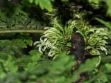 Cyanea Shipmanii Flowers