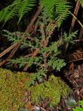 Wild Cyanea Shipmanii