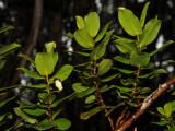 'Anini Flower