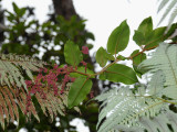 Rumex Giganteus Flowers