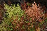 Rumex Skottsbergii Flowers & Seeds