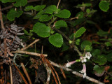 S. Rotundifolia