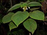 'Ilihia (Cyrtandra Platyphylla)
