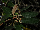 Rhamnaceae (Buckthorn Family) - Kauila, 'Anapanapa, etc