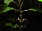 Phyllostegia Floribunda