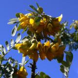Mamane Flowers