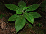Cyanea Pilosa