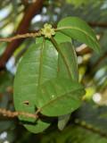 N. Longifolium Flower