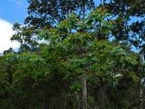 Anacardiaceae (Mango Family) - Neleau
