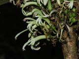 Cyanea Shipmanii Flowers!