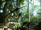 Colobus monkeys - original