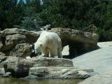 Polar Bear - original.