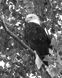 Bald Eagle by Hutchman