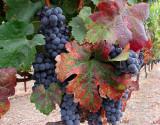 Wide Angle Grapes