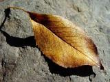 A Simple Leaf UponARock