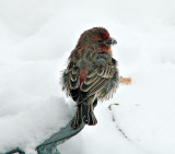 Cold Finch by JolieO