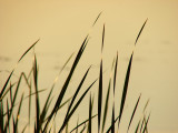 Reeds at Sunset by JolieO