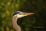 Simple Blue Heron by Hutchman