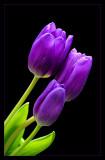 * Trio of Tulips