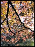 Red Leaves In A Stain-glass Window
