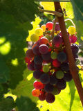 Second - Sparkling Wine on the Vine