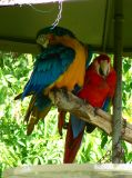 Two Parrots*by Cameron