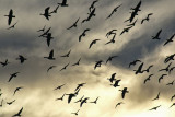 Geese in flight * By Bughunter