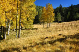 A Morning of Aspens...2010