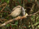 British Rare and Scarce  Birds