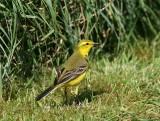 Yellow Wagtail Male