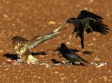 Buzzard-Crow