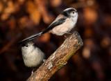 Long-tailed Tit-Blackcap