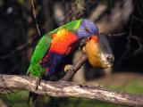 Rainbow Lorikeet 1