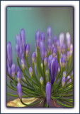 African Garden Lilly - Agapanthus
