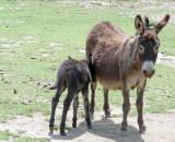 Newborn burro and mother