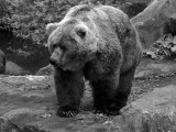 Kodiak bear - Geophoto
