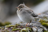 Bergeronnette grise - White Wagtail