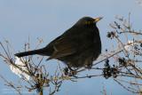 Merle noir - Blackbird