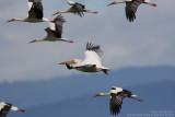 Pélican blanc - White Pelican